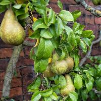 Historic Pears of the North- Talk and demonstration