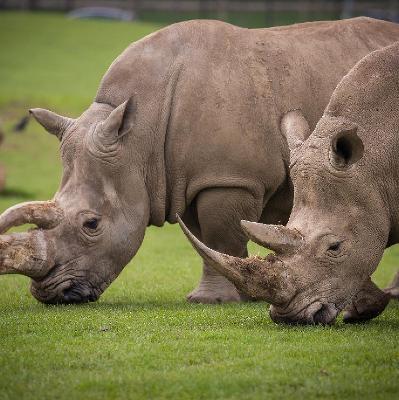 Woburn Safari Park to host a Rhino Charity Weekend | Woburn Safari