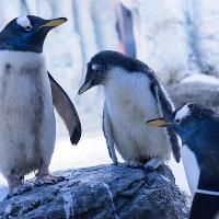 Enjoy a Penguin's First Christmas at SEA LIFE London