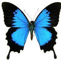 Return of Le Papillon