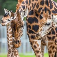 Woburn Safari Park to host Giraffe Charity Weekend