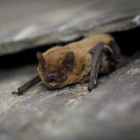 Brockholes Bat Walk Night - Adults only
