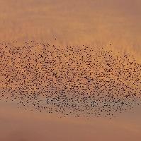 Starling Watch