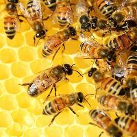 Darlington Honey Show