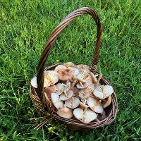 Towcester Wild Food Foraging Course